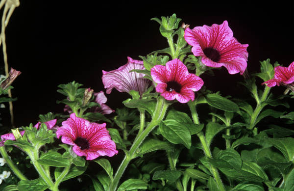 Petunia Photograph - Petunia Surfinia by M F Merlet/science Photo Library