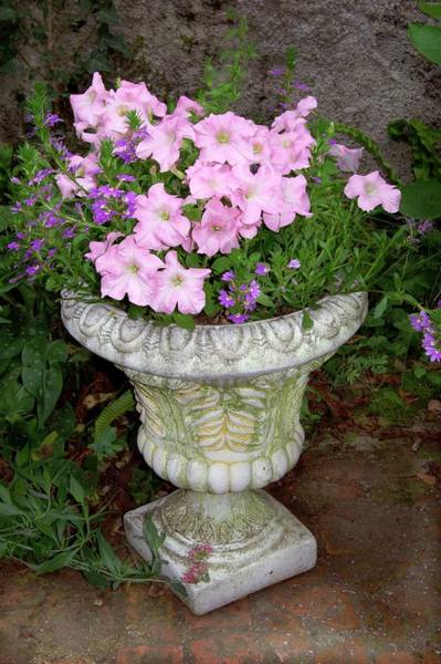 Petunias Photograph - Petunia X Hybrida 'pink Lady' by Brian Gadsby/science Photo Library
