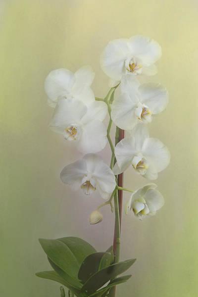 Photograph - Phalaenopsis by Carol Erikson
