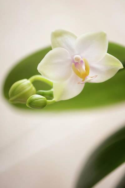 Unopened Wall Art - Photograph - Phalaenopsis Memoria Laela 'sweet Fragrance' by Maria Mosolova/science Photo Library