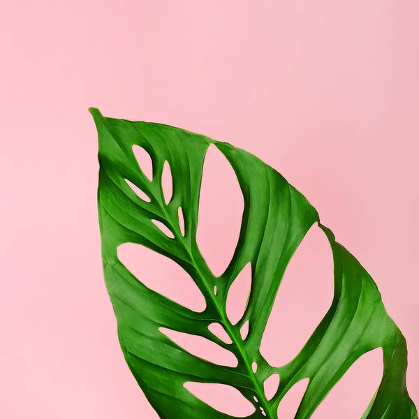 Philodendron Leaf On Pink Art Print