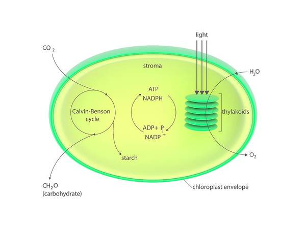 Adenosine Triphosphate Wall Art - Photograph - Photosynthesis Metabolism by Science Photo Library