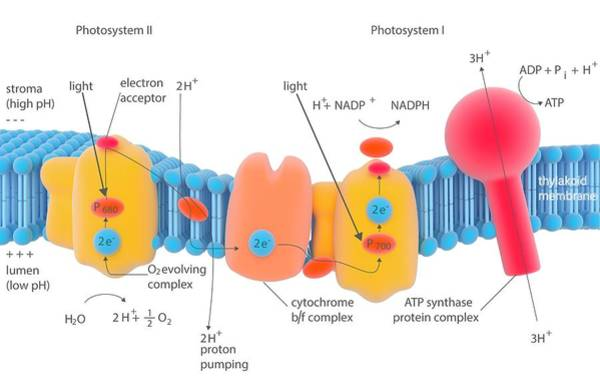 Atp Synthase Wall Art - Photograph - Photosynthesis Photosystems by Science Photo Library