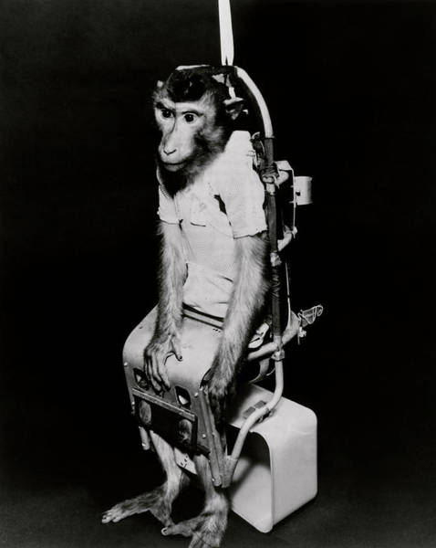 Old World Monkey Photograph - Pigtail Monkey Used In Biosatellite Flight by Nasa/science Photo Library