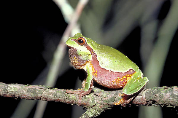 Wall Art - Photograph - Pine Barrens Tree Frog by Carleton Ray