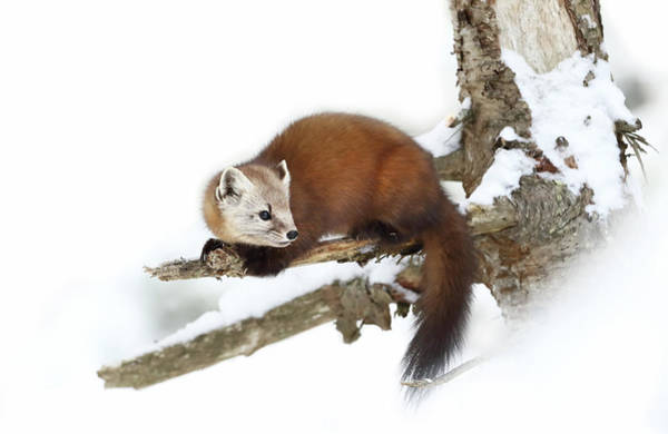 Wall Art - Photograph - Pine Marten - Algonquin Park by Jim Cumming