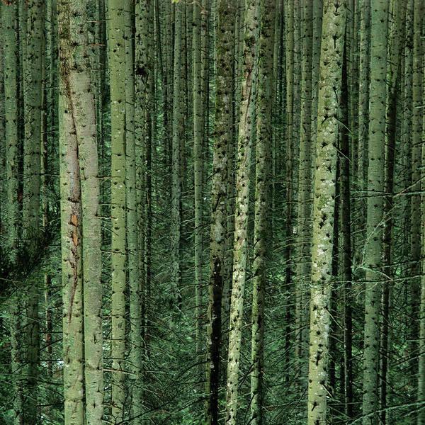 Pine Tree Photograph - Pine Trees by Bernard Jaubert