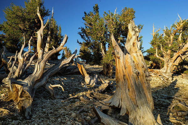 Inyo Mountains Photograph - Pine Trees In Ancient Bristlecone Pine by Panoramic Images
