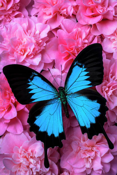 Wall Art - Photograph - Pink Camilla And Blue Butterfly by Garry Gay