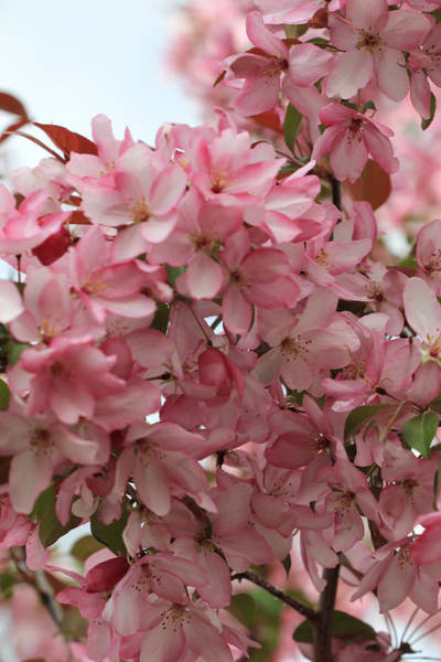 Photograph - Pink Crabapple Branch by Donna L Munro