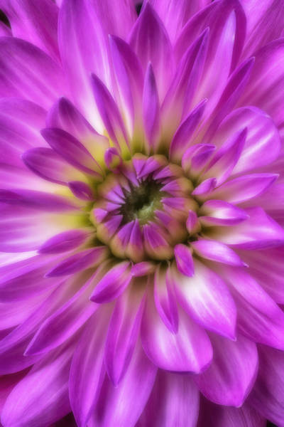 Softly Photograph - Pink Dahlia Close Up by Garry Gay