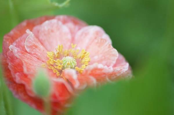 Carpel Photograph - Pink Double-ruffled Shirley Poppy by Maria Mosolova