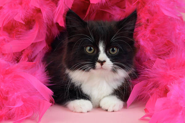 Wall Art - Painting - Pink Feathers Kitten by MGL Meiklejohn Graphics Licensing