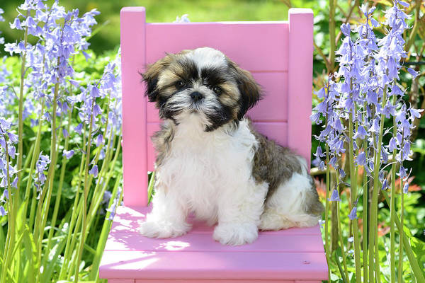 Wall Art - Painting - Pink Garden Chair Puppy by MGL Meiklejohn Graphics Licensing