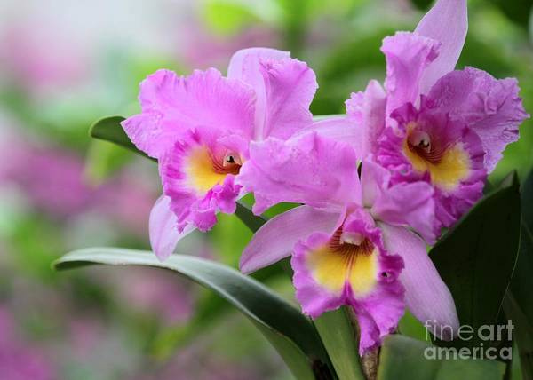 Triplets Photograph - Pink Orchids by Sabrina L Ryan