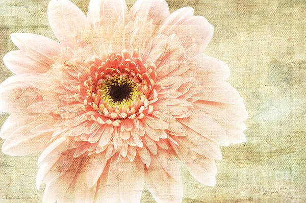 Photograph - 1 Pink Painterly Gerber Daisy by Andee Design