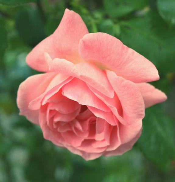Wall Art - Photograph - Pink Rose by Cathie Tyler