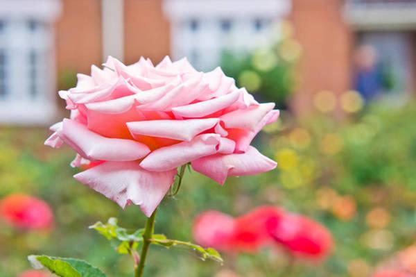 Climbing Vine Photograph - Pink Rose by Tom Gowanlock