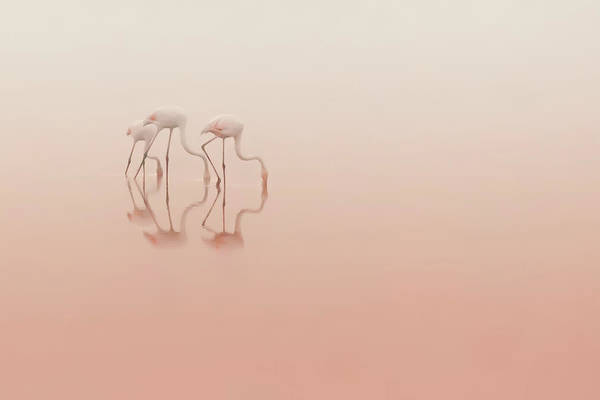 Flamingos Wall Art - Photograph - Pink Silence... by Natalia Rublina