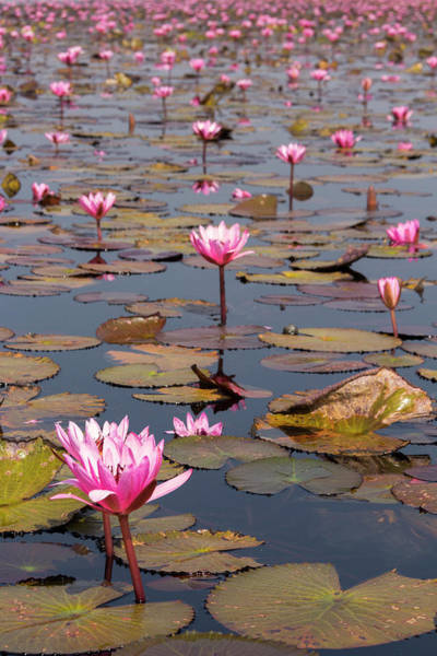 Freshness Photograph - Pink Water Lillies In Nong Han Lake by Tim Bewer