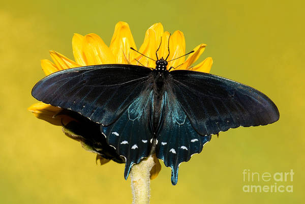 Duval County Photograph - Pipevine Swallowtail Butterfly by Millard H. Sharp