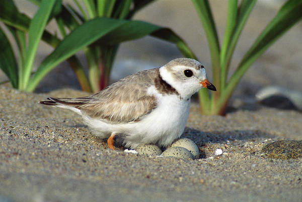 Wall Art - Photograph - Piping Plover Charadrius Melodus by Tom Vezo