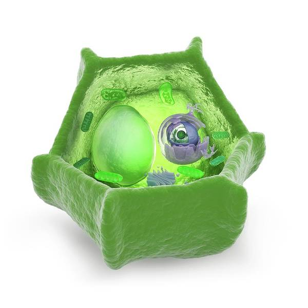 Wall Art - Photograph - Plant Cell by Andrzej Wojcicki/science Photo Library