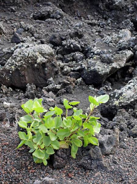 Eroded Wall Art - Photograph - Plant In Lava by Tony Craddock/science Photo Library