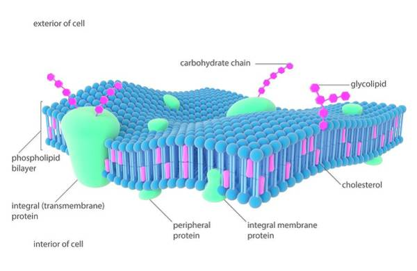 Transmembrane Protein Wall Art - Photograph - Plasma Membrane by Science Photo Library