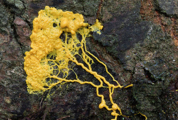 Norfolk Pine Wall Art - Photograph - Plasmodial Slime Mould by Nigel Downer