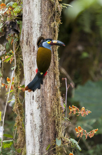 Ramphastidae Photograph - Plate-billed Mountain-toucan At Nest by Tui De Roy