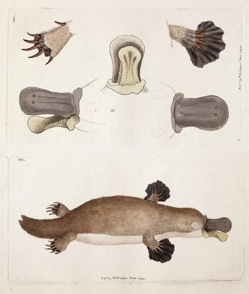 Australian Wildlife Wall Art - Photograph - Platypus Anatomy (shaw) by Paul D Stewart