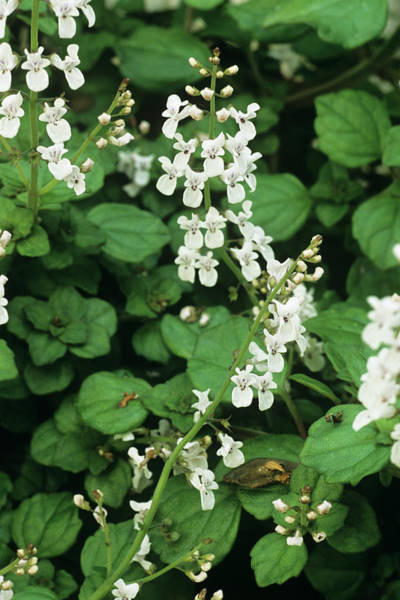 Glasshouse Photograph - Plectranthus Flowers by Anthony Cooper/science Photo Library