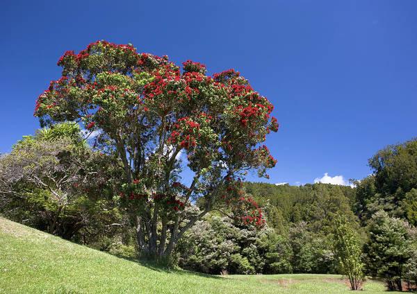 Pohutukawa Photograph - Pohutukawa Tree (metrosideros Excelsa) by Bob Gibbons/science Photo Library