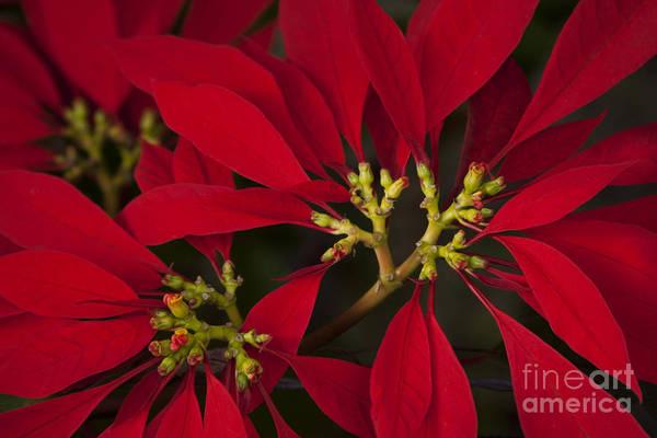 Photograph - Poinsettia  - Euphorbia Pulcherrima by Sharon Mau
