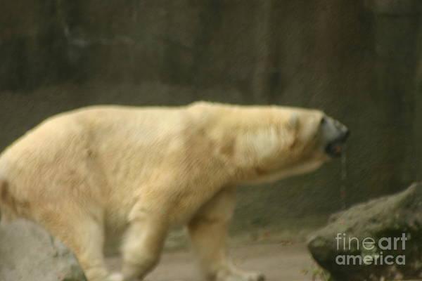 Dancing Bears Photograph - Polar Bear by Eric Brock