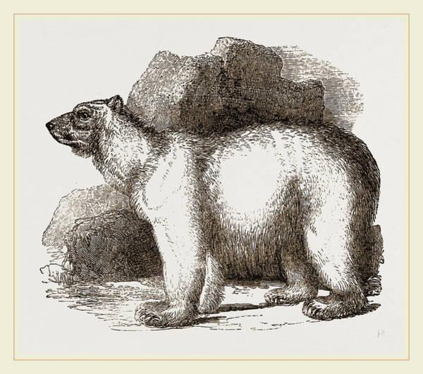 Polar Bear Drawing - Polar Bear by Litz Collection