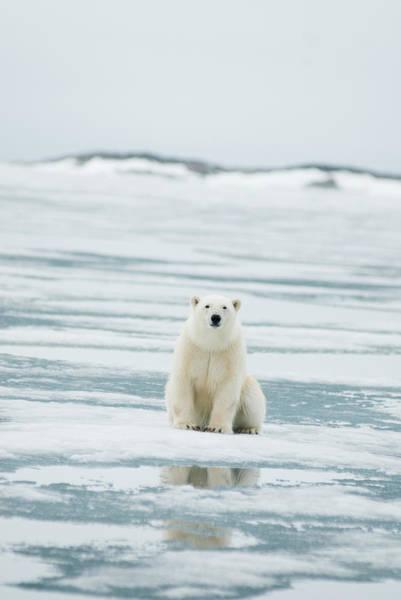 Sow Photograph - Polar Bear, Ursus Maritimus, Sow Hunts by Steven J. Kazlowski / GHG