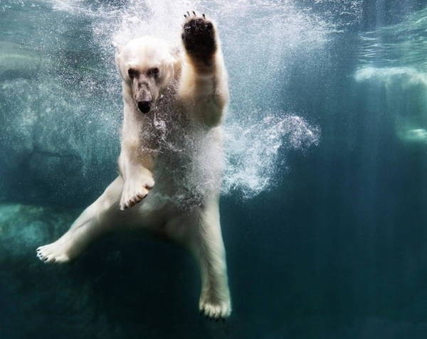 Horizontal Photograph - Polarbear In Water by Henrik Sorensen