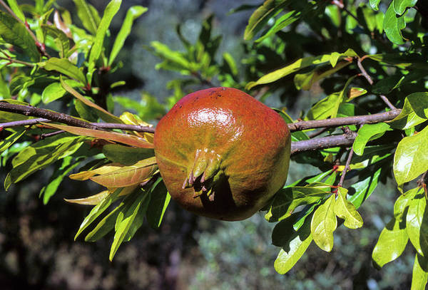 Wall Art - Photograph - Pomegranate (punica Granatum) by Bruno Petriglia/science Photo Library