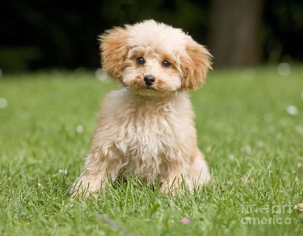 Photograph - Poodle Puppy Dog by Jean-Michel Labat