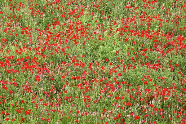 Sainfoin Wall Art - Photograph - Poppies And Sainfoin In A Field by Bob Gibbons