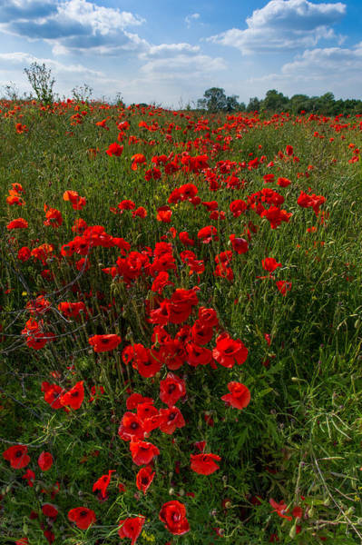 Photograph - Poppies by Gary Eason