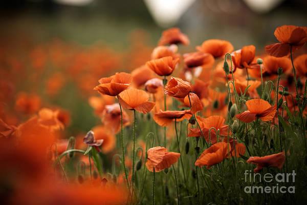 Wall Art - Photograph - Poppy Dream by Nailia Schwarz