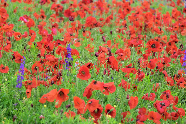 Campanulaceae Photograph - Poppy Field, Mount Olive, North by Lisa S. Engelbrecht
