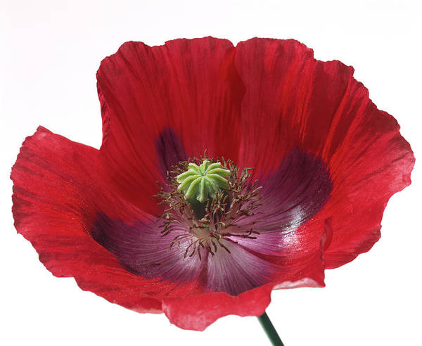 Pistil Wall Art - Photograph - Poppy Flower by Sheila Terry/science Photo Library