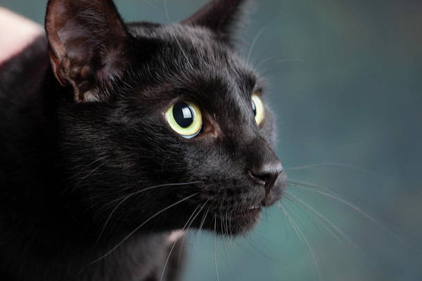 Black Cats Photograph - Portrait Of A Black Cat by Animal Images