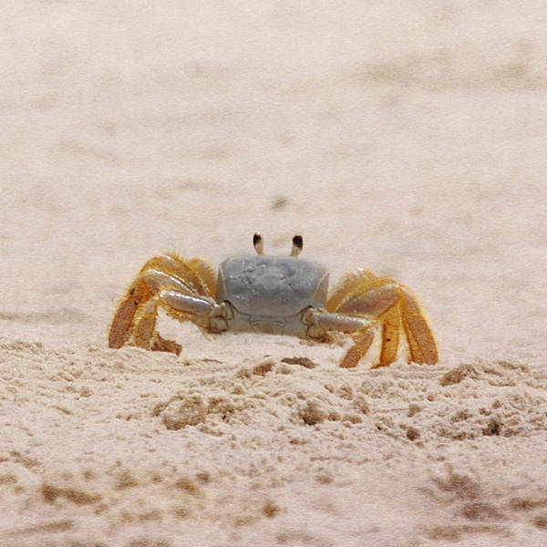 Photograph - Portrait Of A Ghost Crab by Judy Hall-Folde