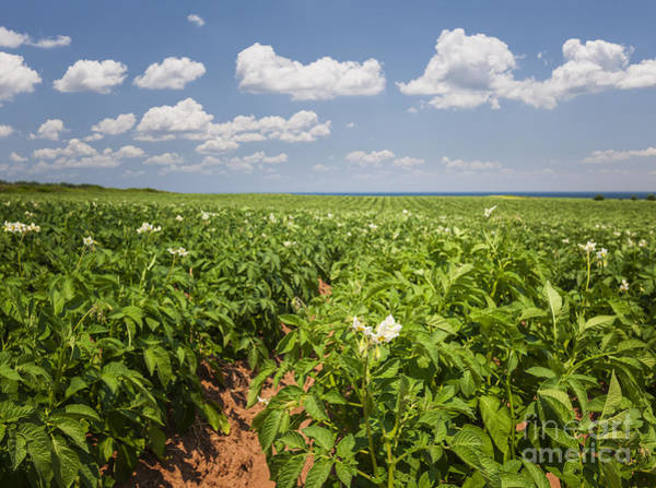 Wall Art - Photograph - Potato Field In Prince Edward Island by Elena Elisseeva