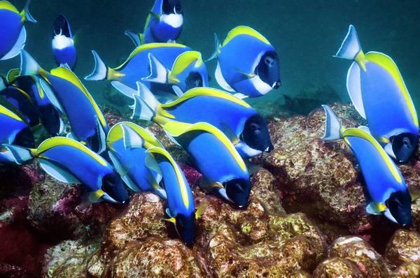 Schooling Wall Art - Photograph - Powderblue Surgeonfish by Georgette Douwma
